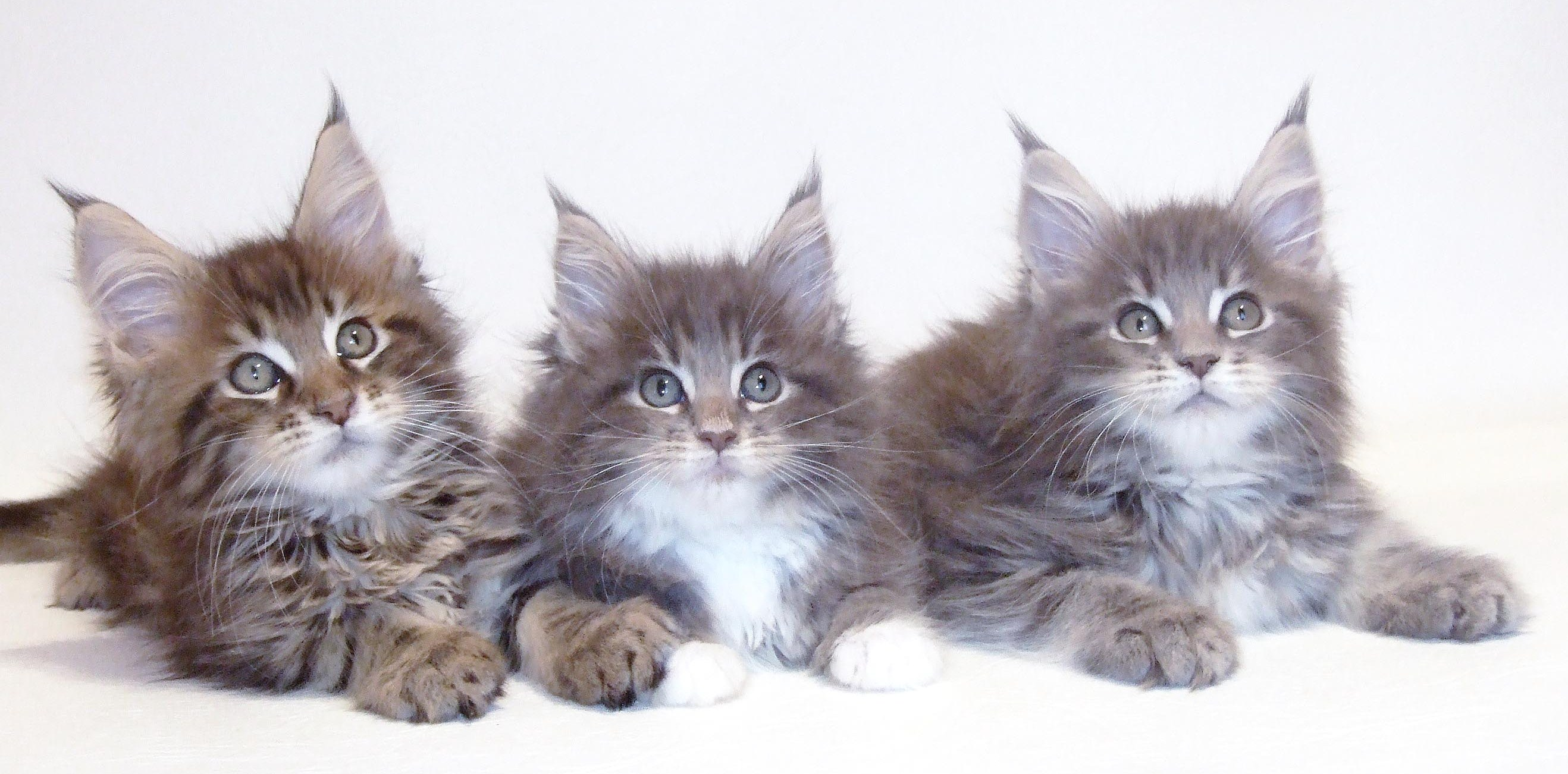 Maine coon cats in uk